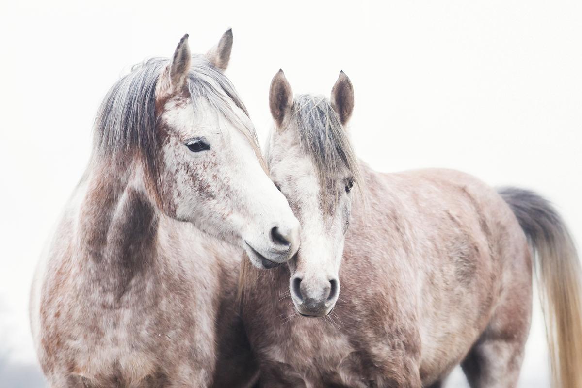 Koń czystej krwi arabskiej