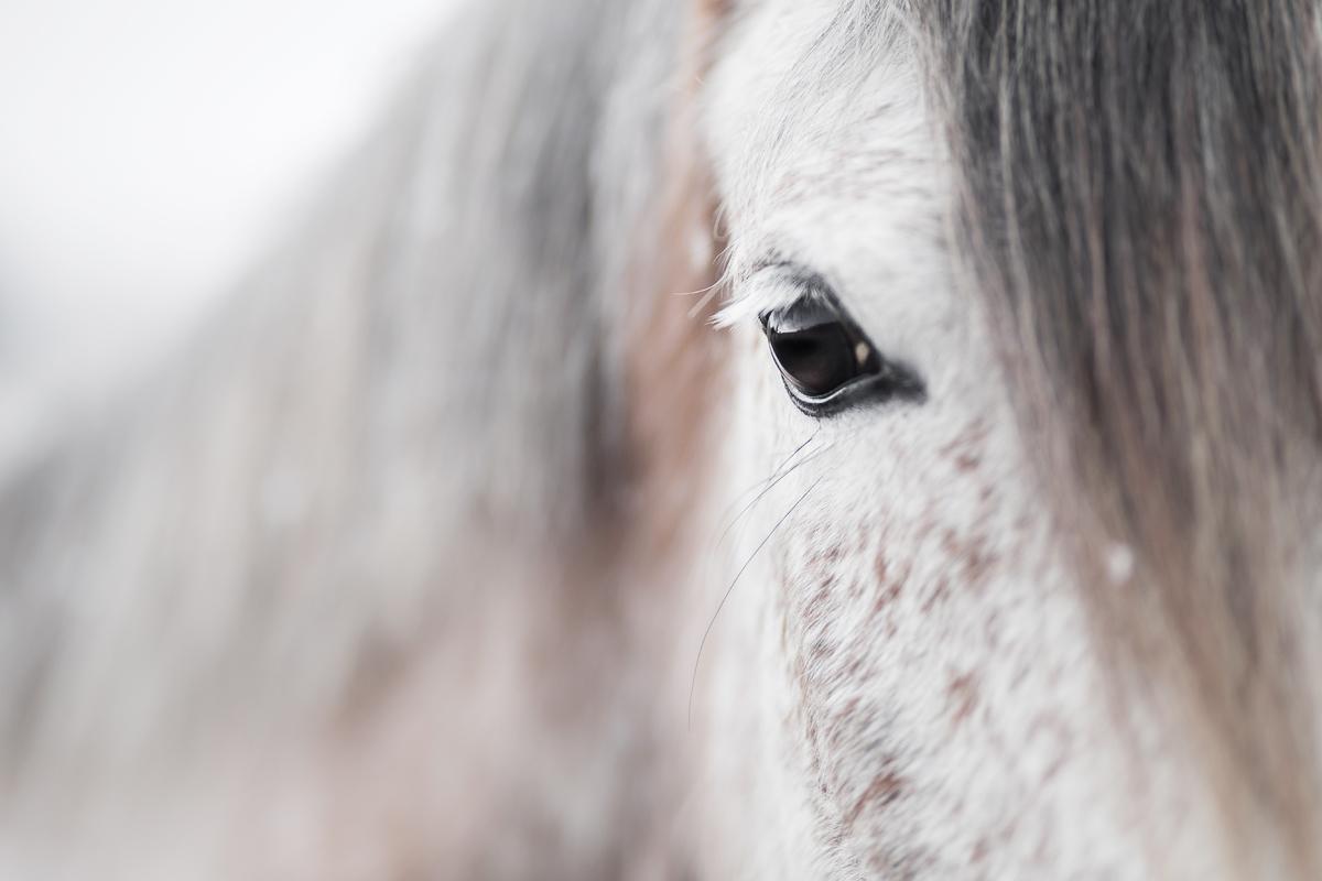 Siwy Koń czystej krwi arabskiej