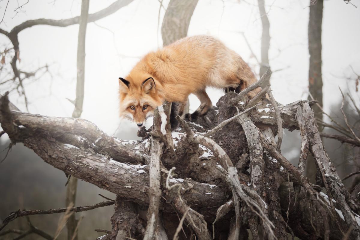 lis, sesja z lisem, zdjęcia lisów, freya the fox, oswojony lis