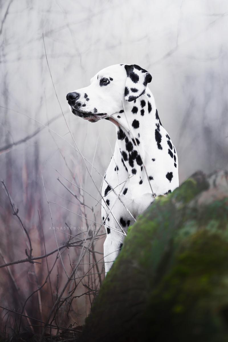 fotograf psow, dalmatyńczyk