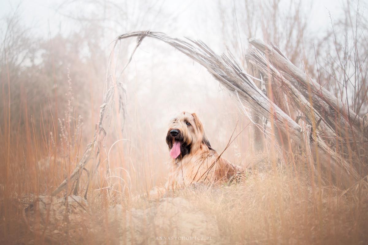 sesja dla psa, briard, sesja psów, fotogaf psów, fotografia psów
