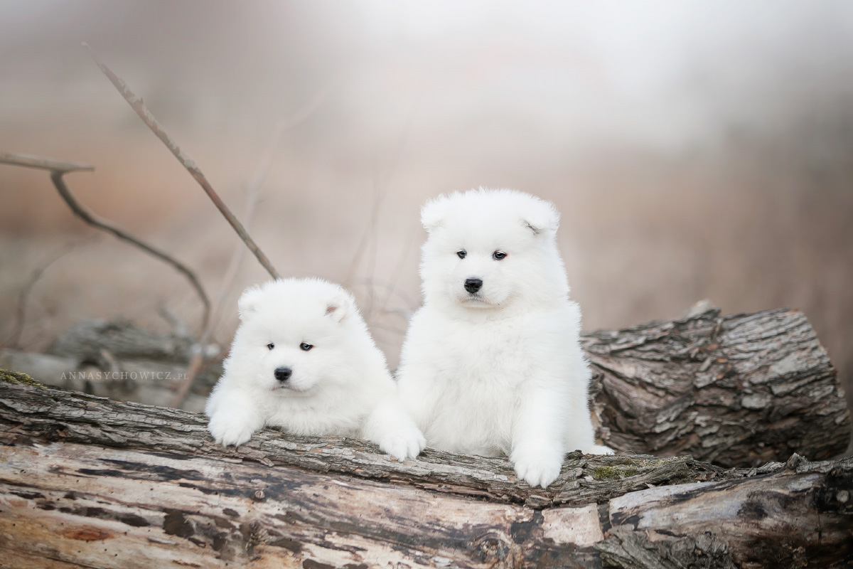 samoyed fotografia psów